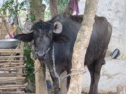 Cow Barauli