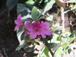 Garden_Rhododendron
