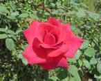 Garden_Rose
