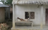 Goats Barauli