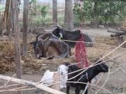 Livestock Barauli