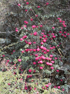 Rhododendrons2 Day1