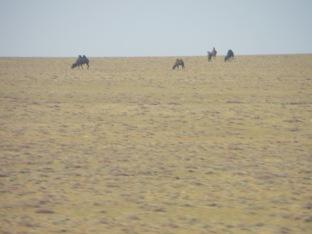 Mongolia camels