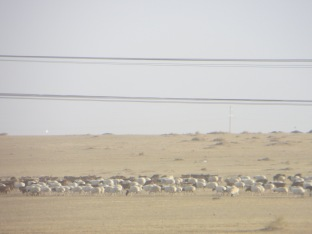 Mongolia Sheep