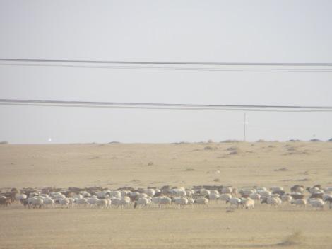 Mongolia Sheep
