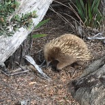 Echidna close up - Day 3