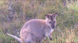 Three Capes Wallaby