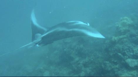 Manta ray, photo Ken