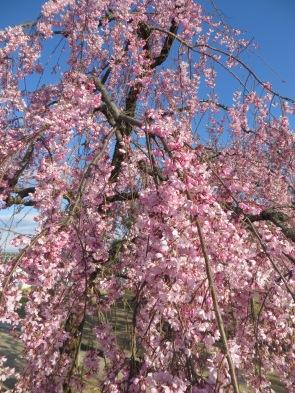Tree at Himeji Castle