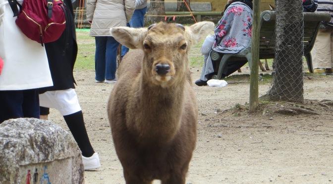 Deer, deer, in Nara