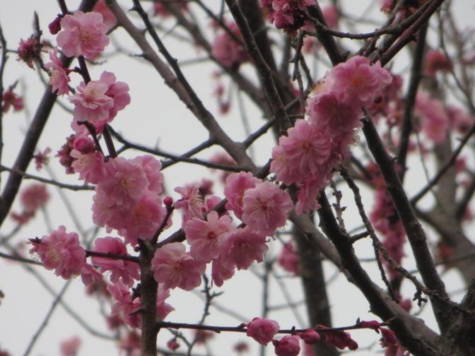 Sakura – cherry blossom season
