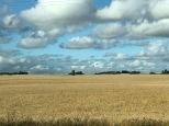 Barley field, SK